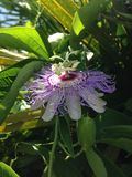 Passiflora (Passion Flower) Plant Blossoming. Royalty Free Stock Photography