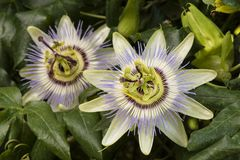 Passiflora passion flower. Two Purple passion flower in full bloom, Passiflora stock images
