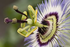 Passiflora passion flower. Two Purple passion flower in full bloom, Passiflora stock photo