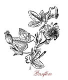 Passiflora or passion flowers, botanical vintage engraving Royalty Free Stock Photo