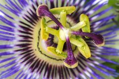 Passiflora passionflower close up. Big beautiful flower. stock images