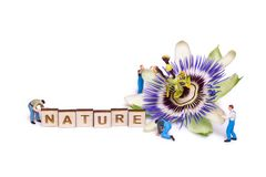 Passiflora passionflower isolated on white background. Flower and peoples royalty free stock image