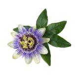 Passiflora passionflower odizolowywający na białym tle duży piękny kwiat Obraz Stock