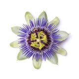 Passiflora passionflower odizolowywający na białym tle duży piękny kwiat Fotografia Stock