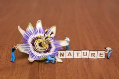 Passiflora passionflower on a wooden background. Flower and miniature peoples royalty free stock photo