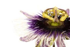 Passiflora porpora e bianca isolata Fotografie Stock Libere da Diritti