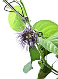 Passiflora quadrangularis flower Stock Image