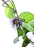 Passiflora quadrangularis flower. On white background stock image