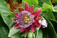 Free Passiflora Quadrangularis, Giant Granadilla - Rare Tropical Plant Stock Image - 175064101