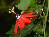 Passiflora racemosa Royalty Free Stock Photography