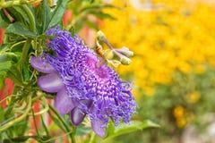 Passiflora roxa bonita que floresce no jardim ensolarado do verão imagem de stock royalty free