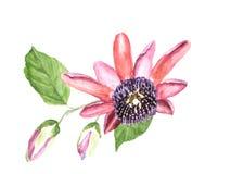 Passiflora tropicale del fiore dell'acquerello Fotografia Stock