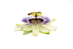 Passiflora on white. One passion fruit (passiflora) flower isolated against white background royalty free stock image