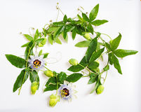 Passiflora Stock Image