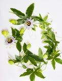 Passiflora stock photography