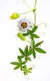 Passiflora Royalty Free Stock Images