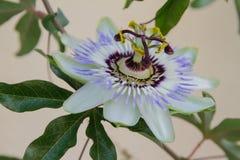 Passiflora white flower macro closeup royalty free stock image