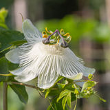 Passiflora Royalty Free Stock Photos