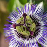 Passiflora Royalty Free Stock Photo