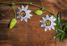 Passiflora stock images