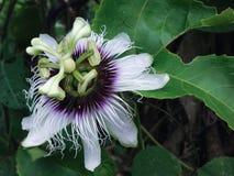 PASSIFLORACEAE - flor tresandando da paixão tailandesa Imagens de Stock Royalty Free