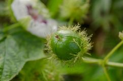 PASSIFLORACEAE ist eine zweijährige Pflanze Stockbild