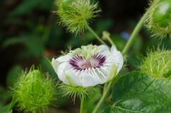 PASSIFLORACEAE ist eine zweijährige Pflanze Lizenzfreies Stockbild
