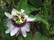 PASSIFLORACEAE - stinking passion. Flower thai stock photography