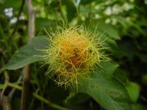 Passiflorafoetida- som stinker passionblomman, förälskelse-i-en-mist, springpop som kryper vinrankan av familjpassifloraceaen royaltyfri bild