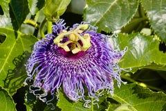 Passifloraincarnata, purpurfärgad passionblomma arkivbild