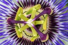 Passiflorapassionsblommaslut upp stor härlig blomma fotografering för bildbyråer