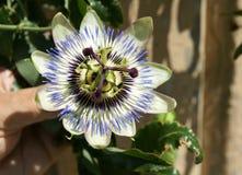 Passiflore bleue, caerulea de passiflore Photo stock