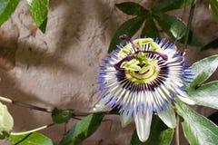 Passiflore Caerulea (fleur bleue de passion) Photos libres de droits