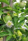 Passiflore comestible de passiflore, Maracuja, passiflore edulis, sur la vigne dans les plantations, près de l'EL Jardin, Antioqu Photo stock