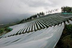 Passiflore comestible de passiflore, Maracuja, passiflore edulis, sur la vigne dans les plantations, près de l'EL Jardin, Antioqu Photos stock