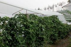 Passiflore comestible de passiflore, Maracuja, passiflore edulis, sur la vigne dans les plantations, près de l'EL Jardin, Antioqu Image libre de droits