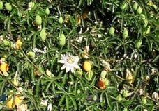 Passiflore comestible de passiflore d'or mûrissant en soleil Photo stock