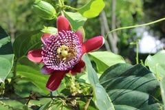 Passiflore, connu également comme fleurs ou passiflores de passion photographie stock