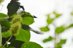 passiflore de fruit d'écarlate ou herbe tropicale de foetida de passiflore s'élevant dans le jardin Image libre de droits