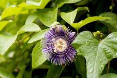 Passiflore fétide, fleur de passiflore comestible de passiflore sur le fond naturel Photo libre de droits