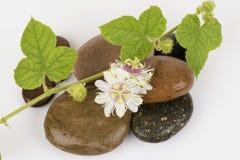 Passiflore fétide, fleur de passiflore comestible de passiflore sur les roches Photographie stock
