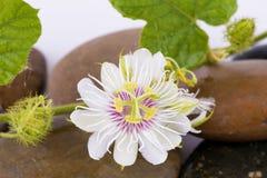 Passiflore fétide, fleur de passiflore comestible de passiflore sur les roches Photo libre de droits