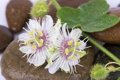 Passiflore fétide, fleur de passiflore comestible de passiflore sur les roches Photos libres de droits