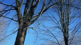 Passing Bare Trees In Winter. Moving slowly past trees with bare branches on sunny winter day stock video