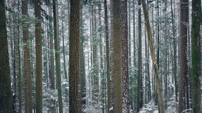 Passing Beautiful Tall Forest Trees In Snowfall stock footage