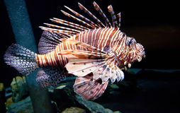 Passing Lion Fish stock image