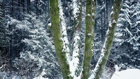 Passing Mossy Forest Trees In Snowfall stock video footage