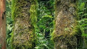 Passing Mossy Tree Trunks In Forest stock footage
