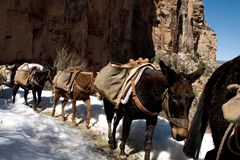 Passing mules. A train of passing mules while backpacking the Grand Canyon royalty free stock photography