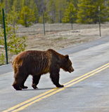 Passing in a no pass zone. Grizzly bear crosses street in Grand Teton National Park Stock Photos